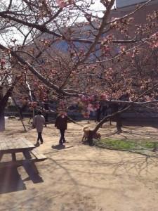 桜はまだ蕾