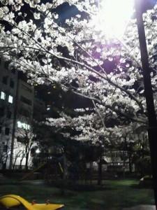 蛎殻町公園の夜桜